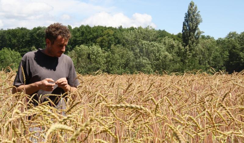 Le Regain - Culture de blé bio - partenaire de l'épicerie Rive-bio à Annecy